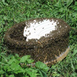 поимка пчел народными средствами