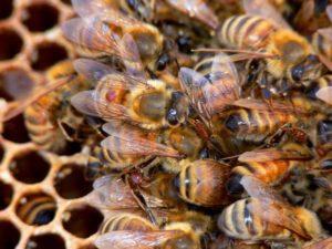 степень заражения семьи пчел
