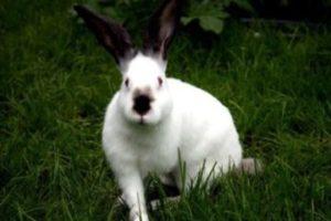 признаки калифорнийского кролика