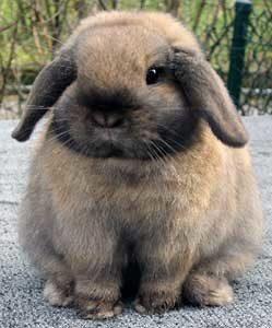 кролик порода баран
