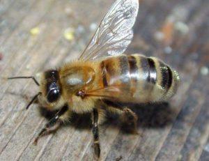 порода пчелы