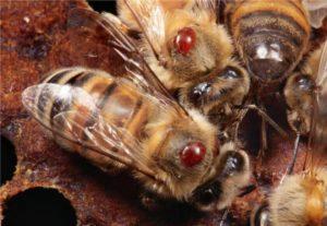 лечение пчел весной от клещей