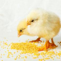цыплята едят корм