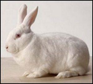 масса кролика