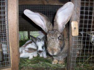 крольчиха ризен с потомством