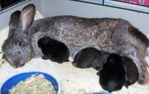 крольчиха кормит крольчат
