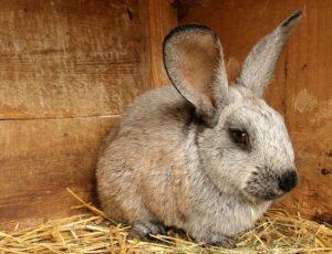 кролик разведение