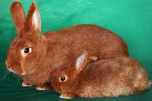 новозеландский кролик красный