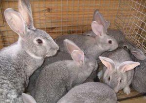 кролиководство1