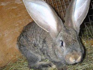 как выбрать кролика ризен