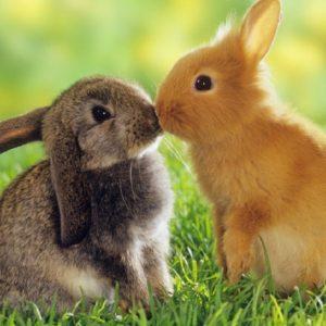 кролики случка