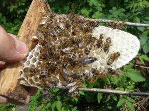 карника порода пчел