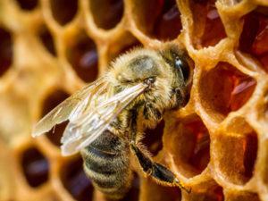нужен ли пчелам мед