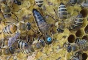 весеннее развитие пчелиной семьи