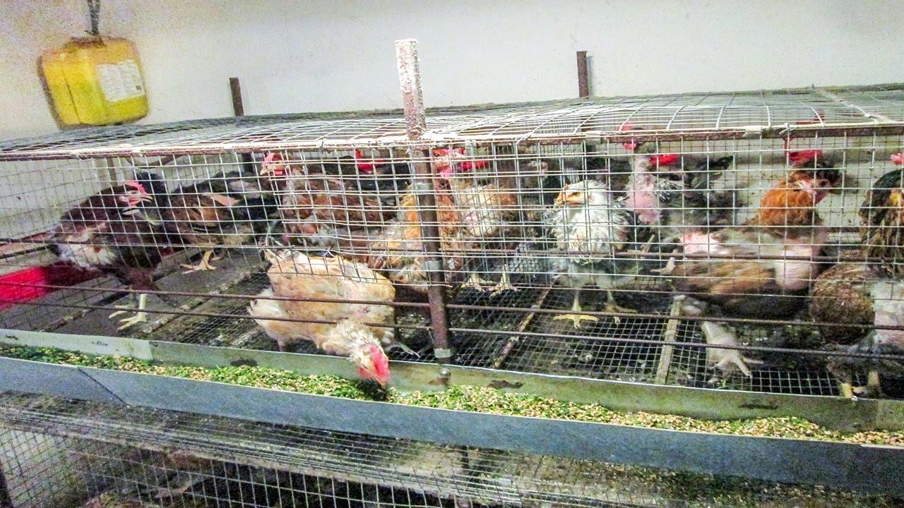 Клетки для выращивания куриц 481