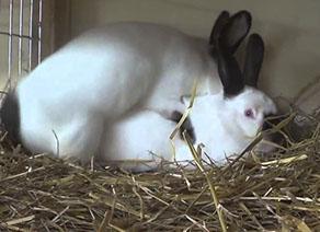 случка кроликов1