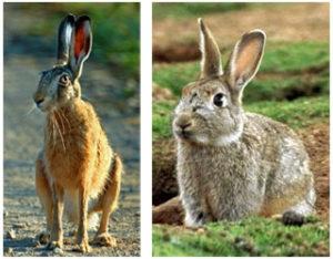 зайцы или кролики