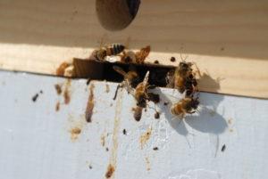 понос у пчел