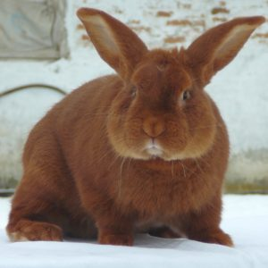 новозеландский кролик