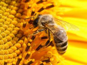 зимний анабиоз пчел