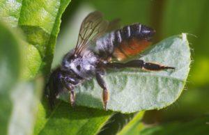порода пчела листорез