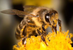 жизнь пчелы