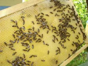 сальмонеллёз пчел