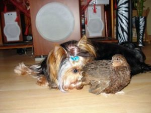 перепел и собака