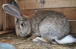 охота крольчихи