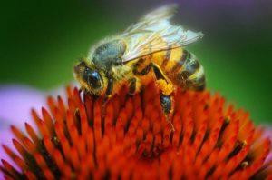 цветы привлекающие пчел