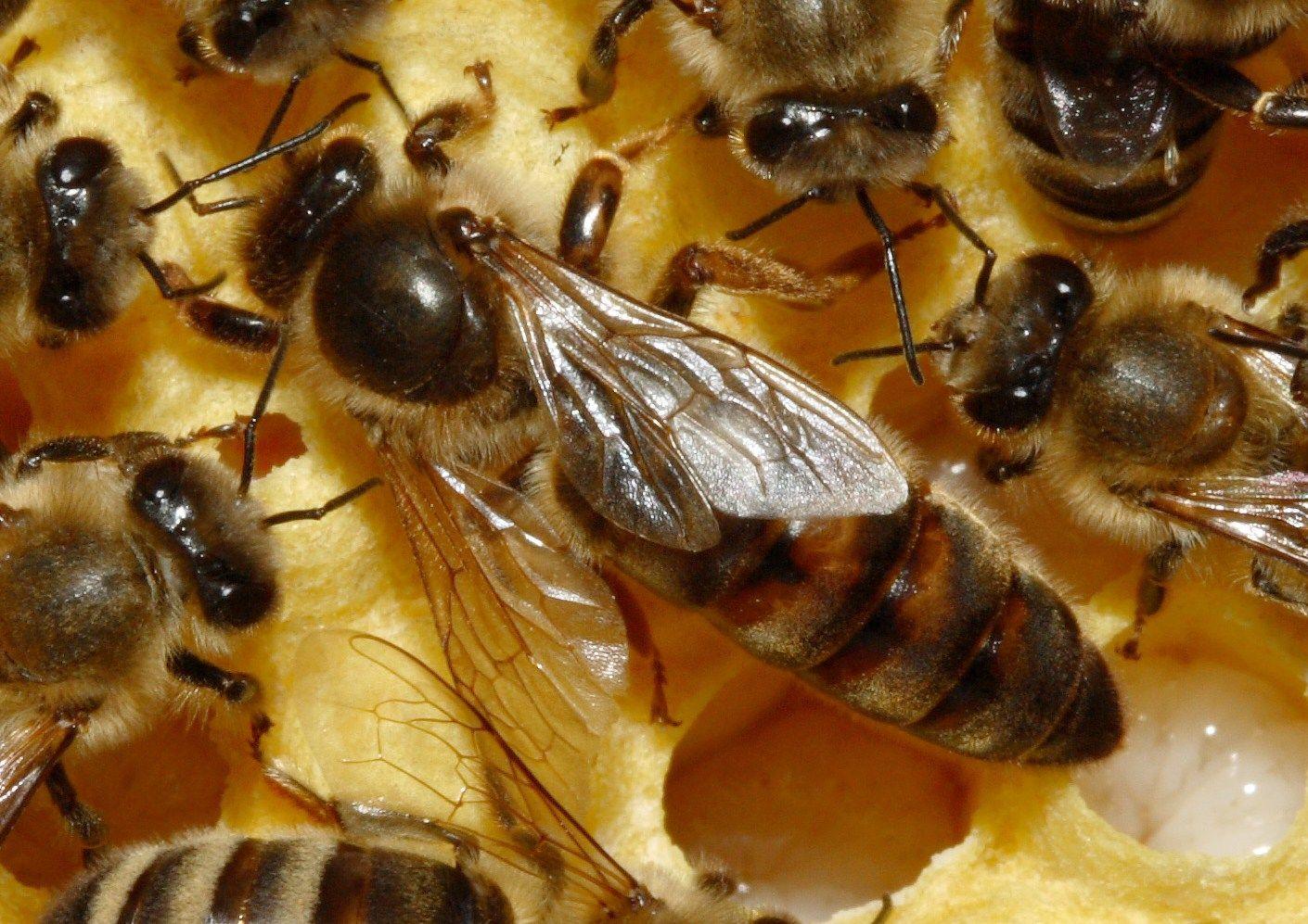 Зависит ли развитие матки пчел по дням от конкретной породы?