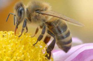 развитие рабочих пчел