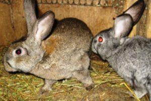 самец и самка кролика