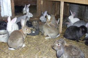 мясошкурковые сорта кроликов