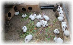 многоплодность кроликов