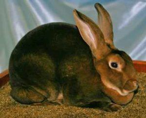 порода рекс кролик