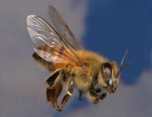 северная порода пчел
