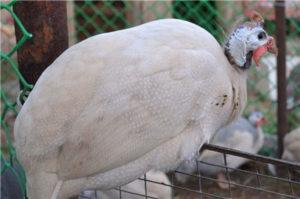 сибирская белая цесарка