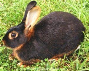 бурый кролик