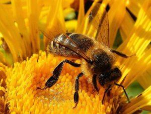 степная пчела