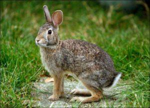 дикий кролик1