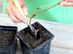 размножение девичьего винограда черенками