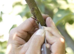 метод окулировки при размножении яблони