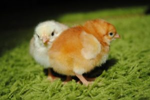 цыплята бройлеры sasso 451