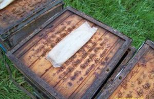 осенняя обработка пчел муравьиной кислотой
