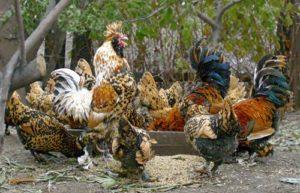 порода павловская кур
