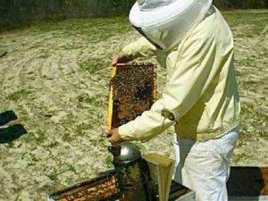 искусственное размножение пчел