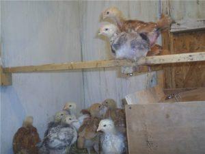 цыплята бройлеры триколор