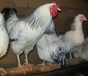 первомайская порода кур содержание