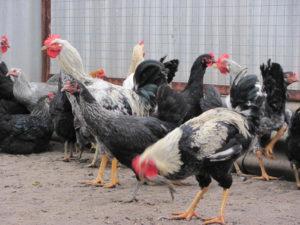 курицы юрловской породы